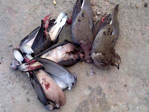 Mais de 16 aves já estavam mortas com os caçadores (Foto: Juca Alencar/ Arquivo pessoal)