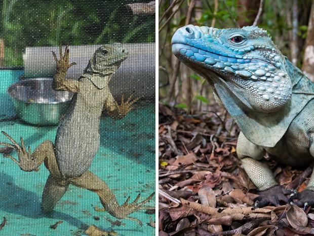 Cerca de 700 iguanas azuis andam livres pelo jardim Rainha Elizabeth 2ª, nas Ilhas Cayman. A área, considerada de proteção ambiental, é o único lugar do mundo onde os animais podem ser encontrados em estado selvagem. A espécie corre risco de extinção (Foto: David McFadden/Will Burrard-Lucas/AP)