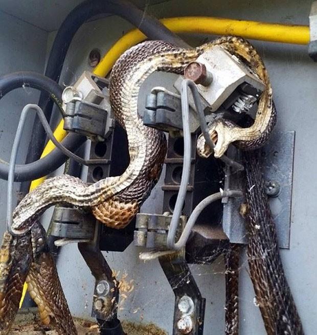 Funcionários encontraram duas cobras mortas eletrocutadas em caixa de luz (Foto: Reprodução/Facebook/City of Morganton, NC Government)