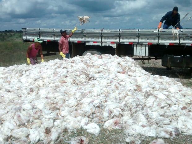 Morte de frangos em São Gonçalo dos Campos, na Bahia (Foto: Arquivo Pessoal)