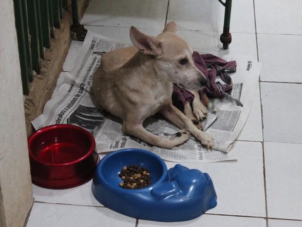 A cadela Débora foi resgatada da rua após ser atropelada na Zona Norte de Teresina (Foto: Patrícia Andrade/G1)