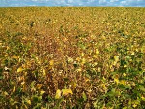 Plantação de soja está prejudicada  (Foto: Cláudio Nascimento / TV TEM)