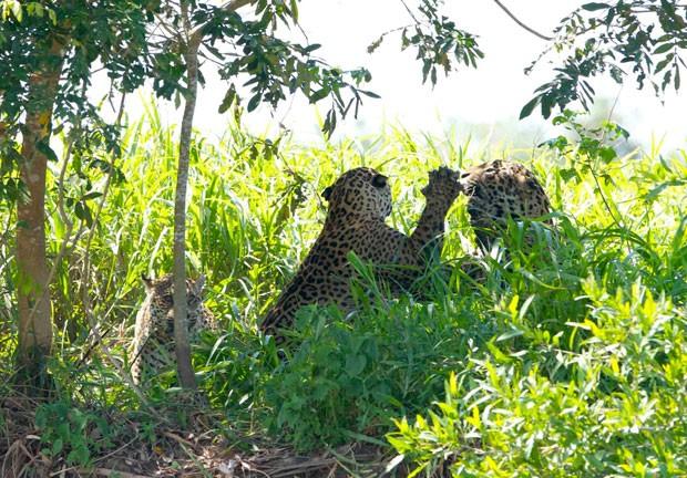 Registro mostra dois machos brigam pela conquista de um espécime fêmea (Foto: Divulgação/Douglas Trent/Projeto Bichos do Pantanal)