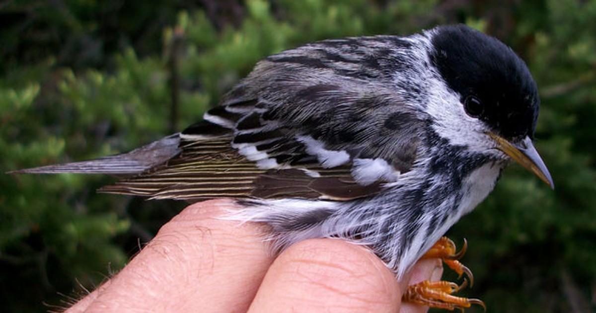 Pássaro de 12 gramas consegue sobrevoar o Atlântico sem escalas