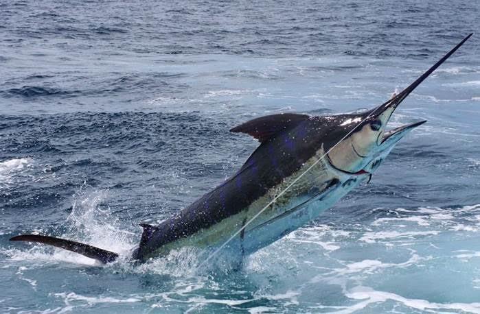 O marlin-azul passa a ser símbolo do ES (Foto: Divulgação/Setur)
