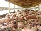 Custo de produção de suínos e frangos cai pelo 2º mês seguido