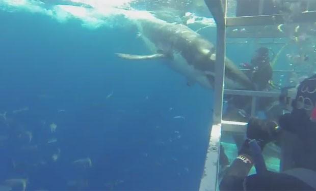 Tubarão nadou em direção à gaiola e quase atingiu braço de mergulhador (Foto: Reprodução/YouTube/Tom Mellinger)