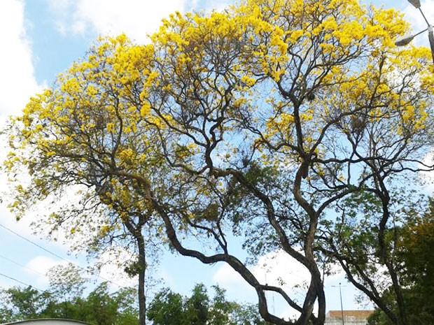 Ipês amarelos florando no Parque Solon de Lucena, em João Pessoa (Foto: Natália Xavier/G1)