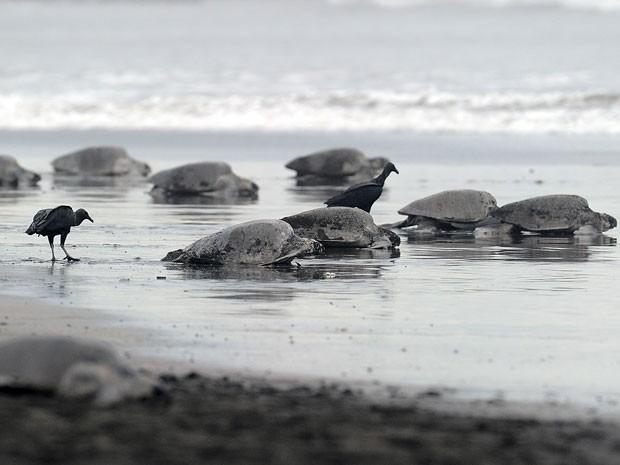 Tartarugas nativas da Costa Rica, em imagem de arquivo (Foto: Yuri Cortez/AFP/Arquivo)