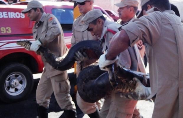 Bombeiros capturam sucuri de quase 5 metros em Bela Vista de Goiás (Foto: Divulgação/Corpo de Bombeiros)