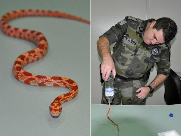 Animal típico dos EUA e do México estava dentro de uma garrafa plástica com água (Foto: Divulgação / Polícia Militar Ambiental )