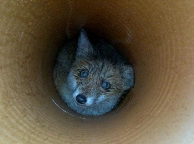 Raposa foi encontrada presa dentro de uma tubulação em Edimburgo. (Foto: Divulgação/Scottish SPCA)