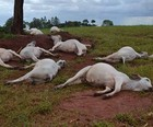 Raio mata 24 cabeças de gado no interior de SP (Reprodução / TV TEM)