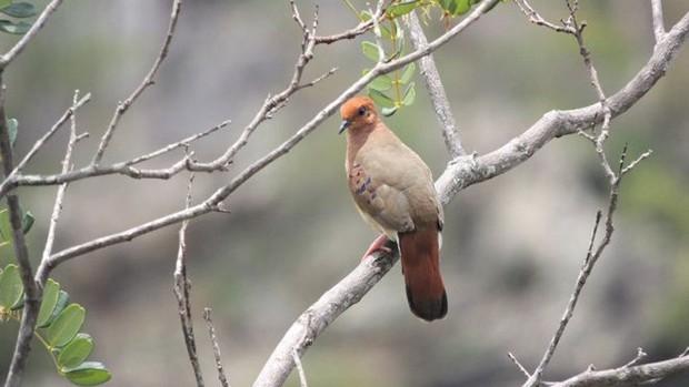 Espécie considerada extinta por cientistas foi avistada no interior de Minas Gerais  (Foto: Rafael Bessa)