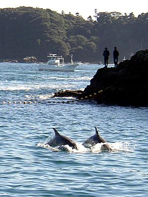 Dois golfinhos-de-risso (Grampus griseus) são conduzidos por barcos de pesca em Taiji, em imagem de 23 de novembro de 2003  (Foto: Ryan Nakashima/AFP)