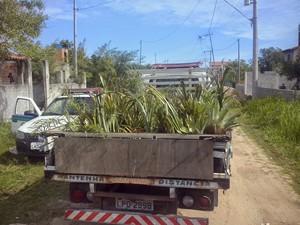 Mais de 300 plantas foram encontradas no horto clandestino (Foto: Divulgação/ Ascom Arraial do Cabo)