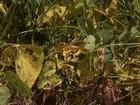 MS tem 2º maior número de casos de ferrugem asiática da soja do país