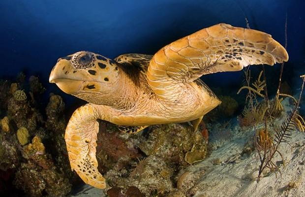 Tartaruga da espécie 'Eretmochelys imbricata', similar às encontradas no Arquipélago das Primeiras e Segundas (Foto: Divulgação/Smithsonian National Museum of Natural History)