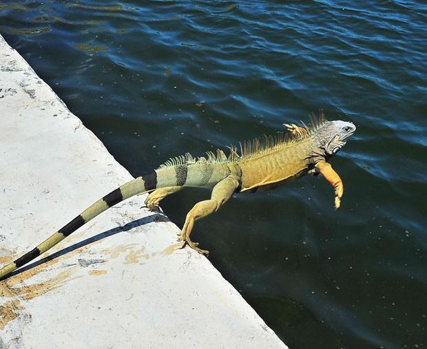 Uma iguana de 1,2 metro foi fotografada no domingo (24) dando um mergulho com estilo em uma lagoa em Key West, no estado da Flórida (EUA) (Foto: Rob O'Neal/Key West Citizen/AP)