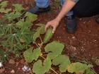 Amigos limpam lote baldio e plantam verduras para evitar focos do Aedes