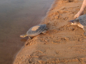Depois de avaliados, os animais foram devolvidos ao habitat natural (Foto: Arquivo pessoal/CMBio, IBAMA e CIPA)