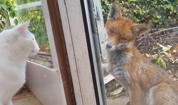 Segundo Dan, não houve nenhuma hostilidade entre seus gatos e a raposa (Foto: Reprodução/YouTube/ Dan Bull )