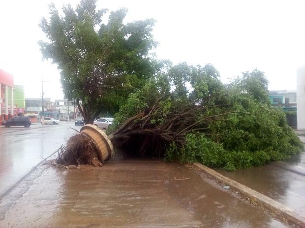 Uma das árvores caiu na margina da BR-364, em Cacoal (Foto: Rogério Aderbal/ G1)