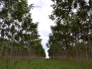 Floresta plantada em Mato Grosso (Foto: Da assessoria/Famato-MT)