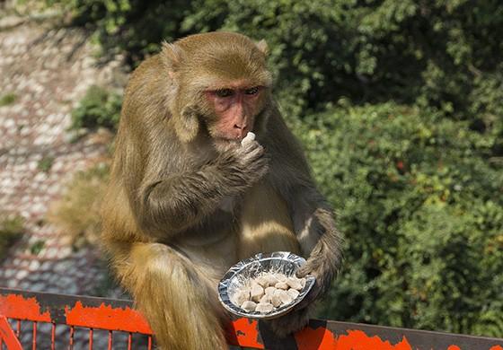Um macaco-rhesus come um doce de amendoim, sentado no corrimão da ponte Lakshman Jhula (Foto: © Haroldo Castro/Época)