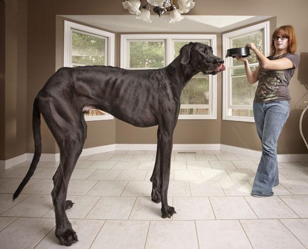 O cão chamado 'Zeus' entrou para o Guinness como maior do mundo. O cachorro de três anos, que vive em Otsego, no estado de Michigan (EUA), mede 1,11 metros. (Foto: AFP)