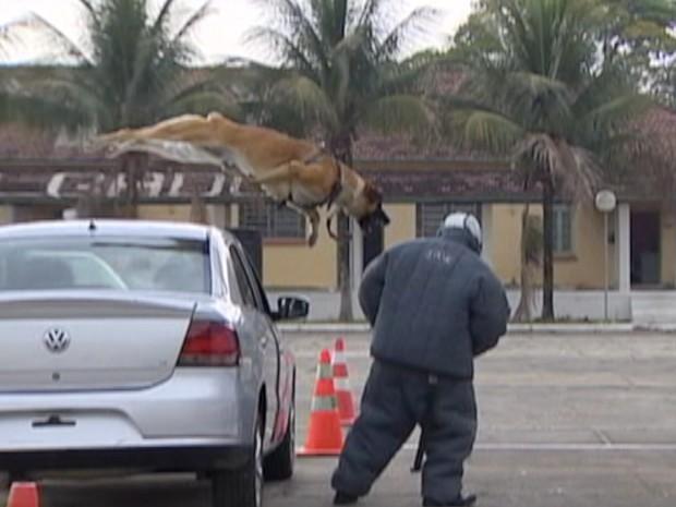 Animal simula ação real com suspeito no canil da PM em Taubaté. (Foto: Reprodução/TV Vanguarda)