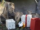 Leões de zoo em Londres ganham antecipadamente presentes de Natal