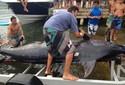 Especialista fala sobre incidência de Marlin-azul no Litoral catarinense