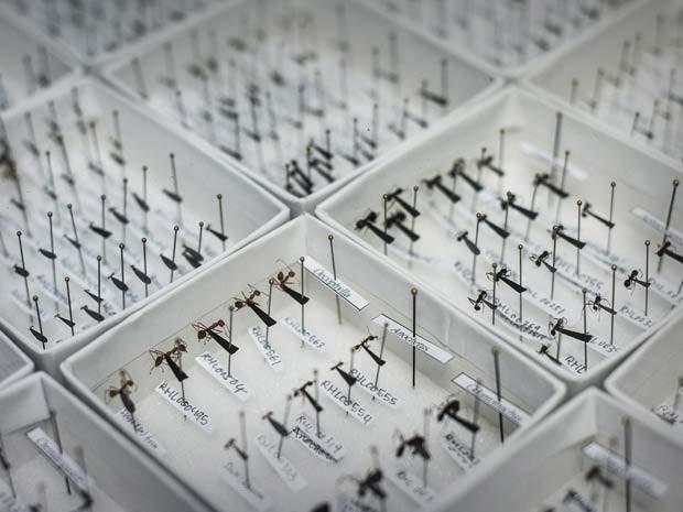 Espécies de formigas descobertas em Hong Kong são exibidas nesra quinta-feira (6); pesquisadores da Universidade de Hong Kong lançaram mapa online com espécies de todo o mundo (Foto: AFP PHOTO / Philippe Lopez)