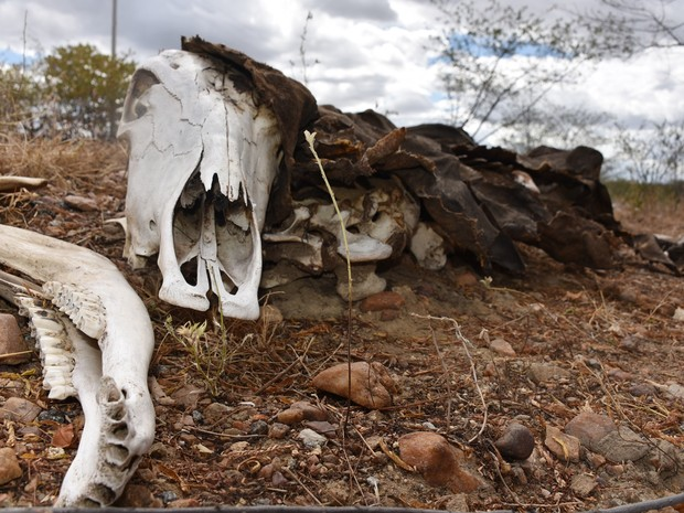 Com a seca que assola o RN há cinco anos, animais mortos às margens das rodovias que cortam o estado fazem parte de um cenário desolador  (Foto: Anderson Barbosa e Fred Carvalho/G1)