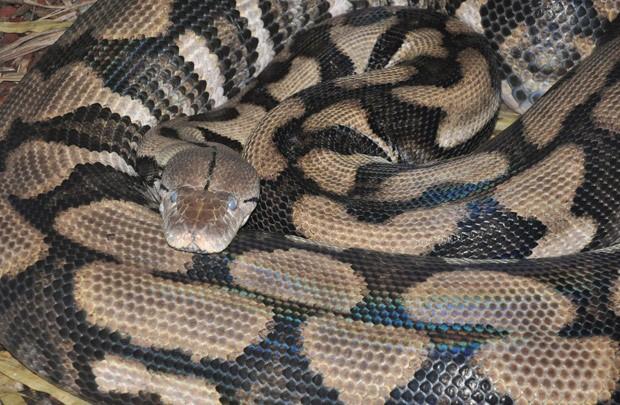 Cobra Thelma, que deu à luz seis filhotes sem ter tido contato com machos (Foto: Reprodução/Facebook/Louisville Zoo)