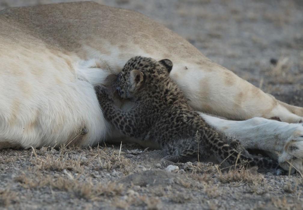 'Bebê' leopardo se amamenta com a ajuda de leoa (Foto: Joop van der Linde/Ndutu Safari Lodge via AP)