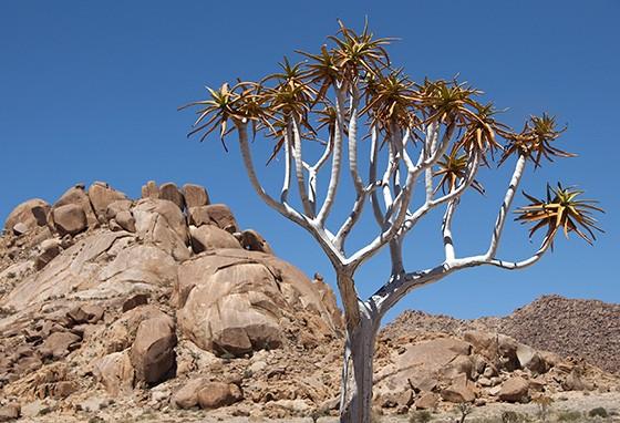 Blocos de granito rodeiam uma árvore no Vale do Kokerboom no Parque Nacional Richtersveld, na África do Sul  (Foto: © Haroldo Castro/ÉPOCA)