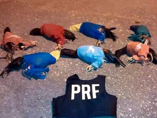 Galos de rinha estavam dentro de uma caminhonete (Foto: Divulgação/PRF-MT)