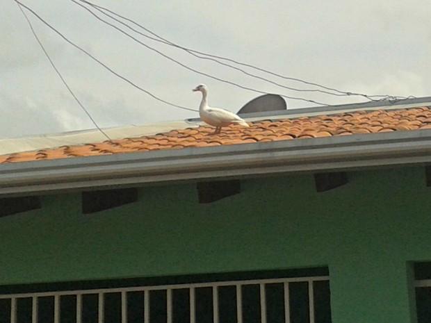 Pato apareceu em casa do Bairro Tijucal na manhã desta quarta-feira (20) (Foto: Regina Lúcia dos Reis/Arquivo pessoal)