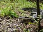 Jacaré amazônico pode ficar até 70 dias sem comer para proteger ninhos