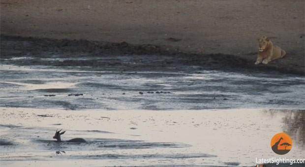 Impala entrou no rio para fugir de leões (Foto: Reprodução/YouTube/Kruger Sightings)