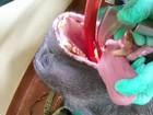 Como fazer tratamento de canal em um gorila