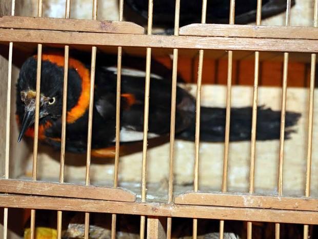 Pássaro preso em gaiola dentro de ônibus, em Guaçuí, Espírito Santo (Fot Divulgação/ Polícia Ambiental do ES)