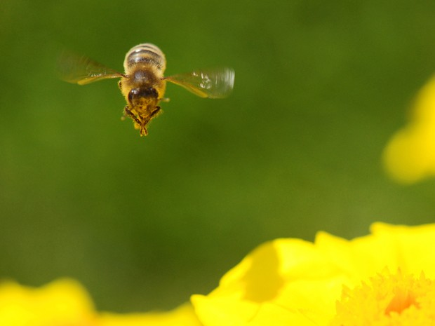 Uma abelha paira sobre uma flor em Pillnitz, perto de Dresden, no leste da Alemanha. (Foto: MATTHIAS HIEKEL/AFP)