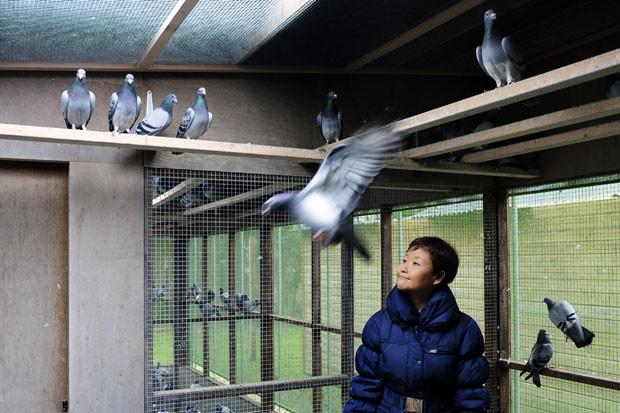 Chinês Yi Minna, chefe de operações da PiPa, observa pombos em Knesselare, na Bélgica (Foto: Geert Vanden Wijngaert/AP)