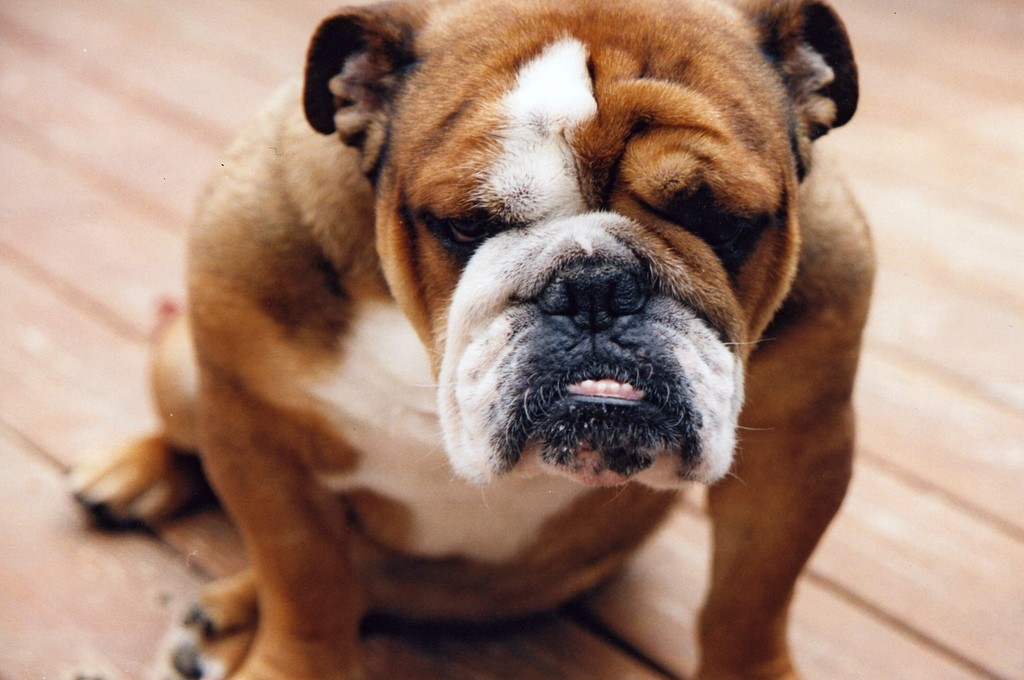 bulldogue (Foto: Flickr/sabianmaggy)