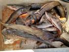 Polícia Ambiental apreende pescado vendido ilegalmente em Uberlândia
