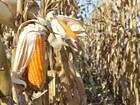 Estiagem derruba projeções de safrinha recorde de milho em MS