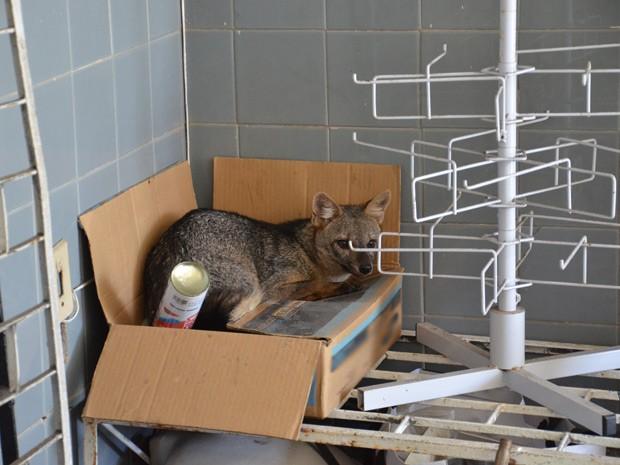 PM acredita que animal tenha se perdido de grupo e foi procurar refúgio na empresa (Foto: Walter Paparazzo/G1)